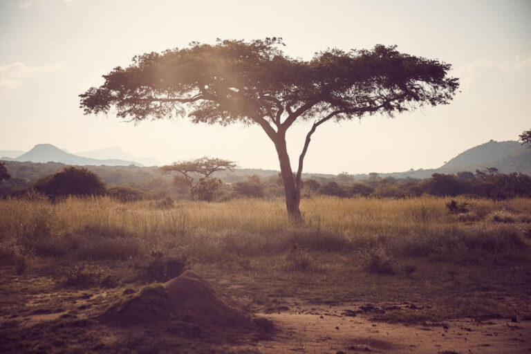 Schirmakazie in Südafrika